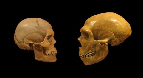 Humans and Neanderthals face off at the Cleveland Museum of Natural History.