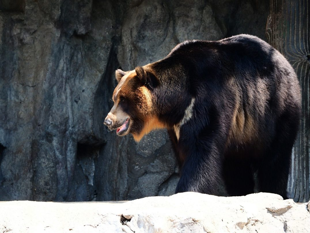 The endangered Asiatic black bear is a medium-sized bear species that resides in areas throughout Asia, from the Himalayas to Japan.