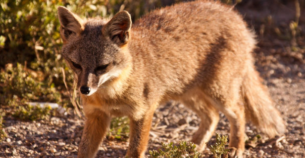The critically endangered island foxes on San Nicolas Island, California, are a diminutive descendent of grey foxes from the mainland. Island foxes weigh between 1 and 3 kilograms.