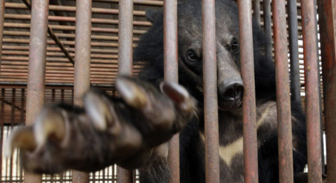 Social media platforms can be used to perpetuate the trafficking of animals and animal products such as bear bile, which is commonly harvested from Asiatic black bears.