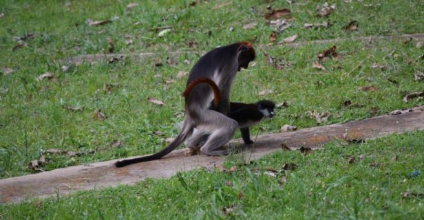 Researchers in Uganda observed this very unusual mating behavior—a male red colobus monkey mounting a female red-tailed guenon.