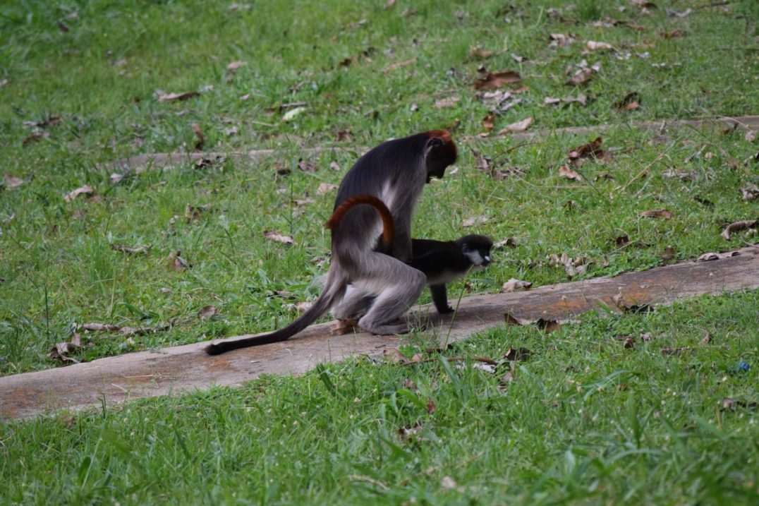 human hybridization - Researchers in Uganda observed this very unusual mating behavior—a male red colobus monkey mounting a female red-tailed guenon.