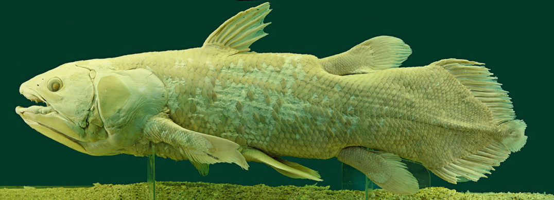 "Sexual evolution - Pelvic fins found on fossil fish (not unlike those on the living coelacanth above) are arguably evidence of the first ""true intromittent organ""—that is, one that inserts into another organism during sexual intercourse."