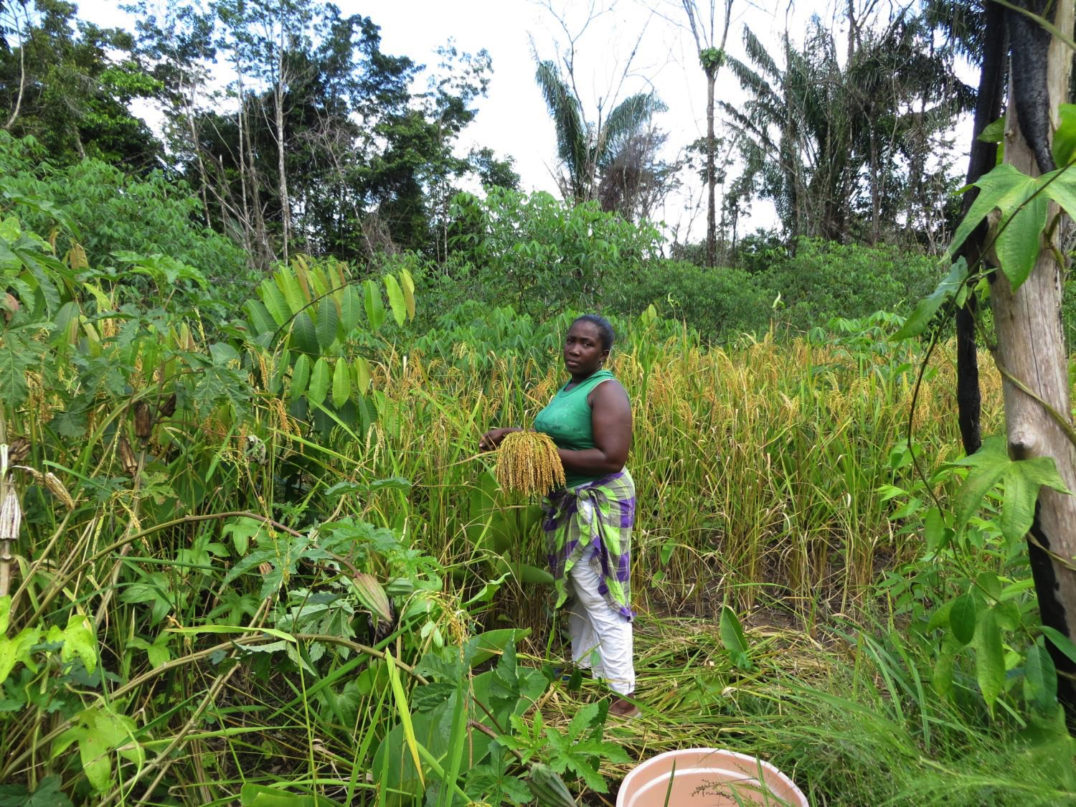 African rice New World - Escaped slaves—known as Maroons—managed to maintain their independence by hiding in Surinamese rainforests, establishing communities and cultures that continue to this day.