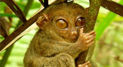 Primate extinction - The Philippine Tarsier, a small primate increasingly threatened by habitat destruction and the pet trade, is just one example of many of rapidly declining primate numbers throughout the world.