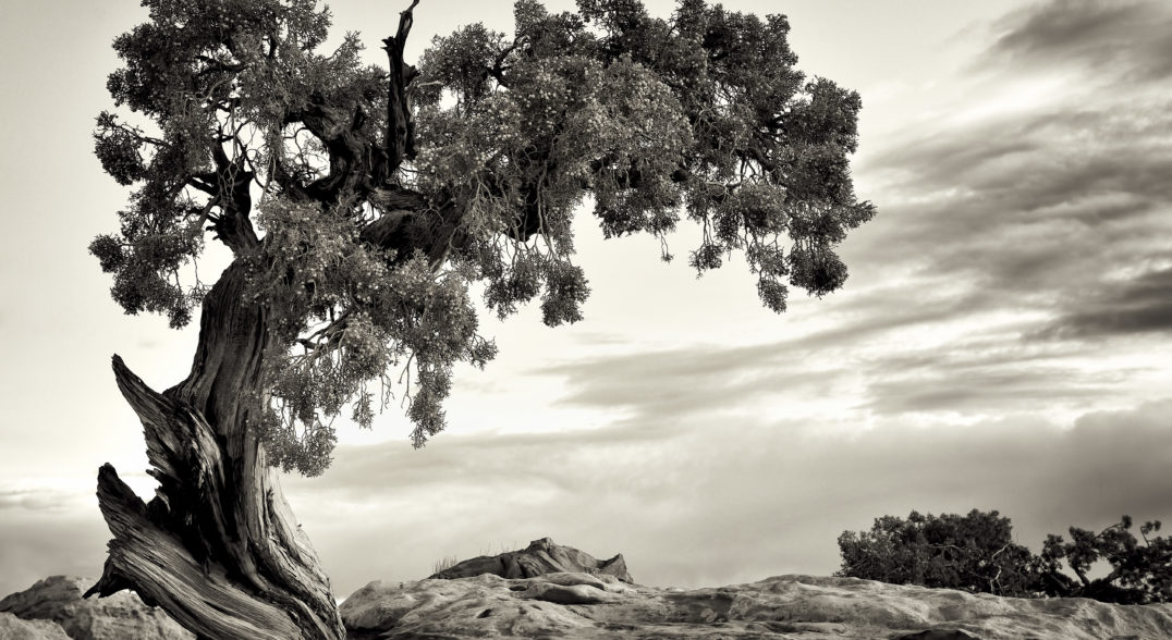 To Hopi traditionalists—Hopis who practice traditional culture—the humble one-seed juniper tree has deep cultural meaning.