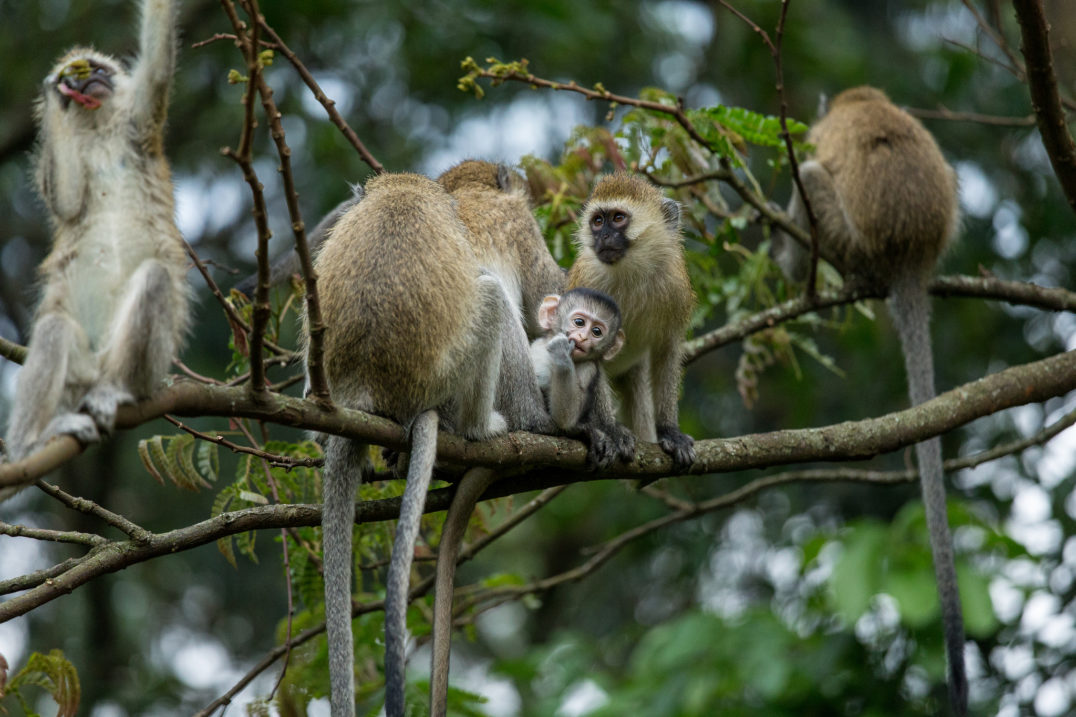Groundbreaking research on vervet monkeys found that their primate vocalizations conveyed precise messages about predators.