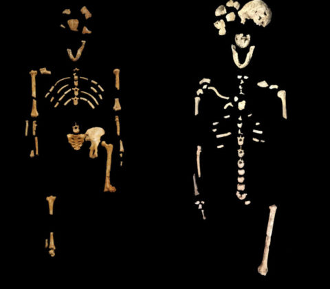 """hominin burial - The skeleton on the left is """"Lucy,"""" an Australopithecus afarensis that is 3.2 million years old. The one on the right is a Homo naledi called """"Neo,"""" which is roughly 250,000 years old."""
