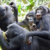 Bonobos congregate around a male bonobo holding an African breadfruit to get a share of the meal.
