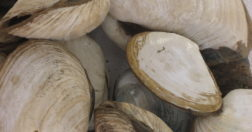 butter clams alaska - People in Alaska have been eating butter clams like these for millennia.