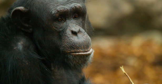 Artificial intelligence culture - Individual chimpanzee communities are known to have unique behaviors shaped by social learning.