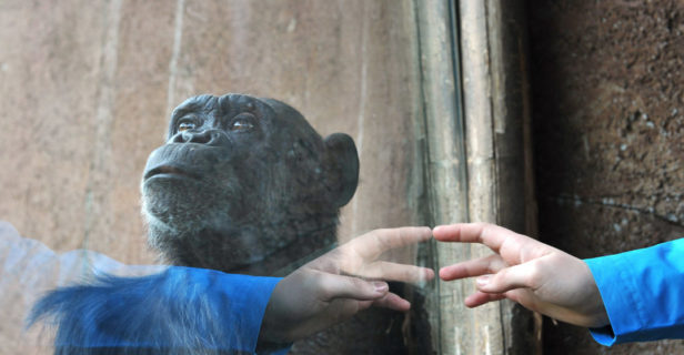 chimpanzees being human