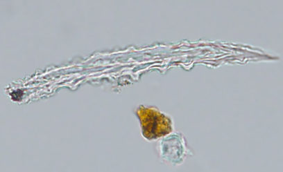 banana domestication - This image shows a microscopic wild breadfruit phytolith.