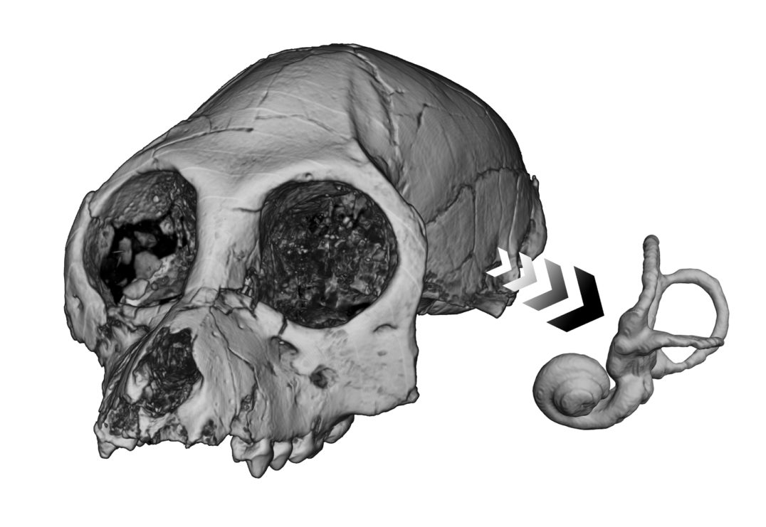 This reconstruction of the cranium of the fossil anthropoid primate Aegyptopithecus zeuxis shows what this species' semicircular canal (inner ear) would have looked like. Unfortunately, scientists haven't discovered many fossils that can inform them about the evolution of speech.