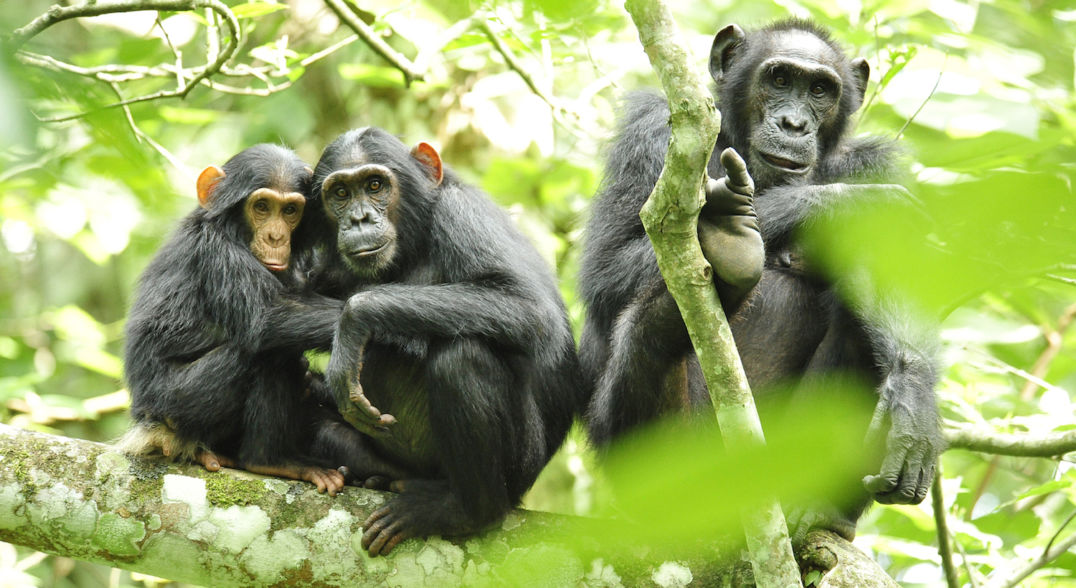 One juvenile and two adult chimpanzees sit on a branch and are visible through foliage.