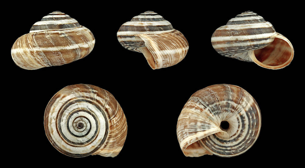 Five images of different angles of a small snail shell covered in stripes that are white and varying shades of brown against a black background.