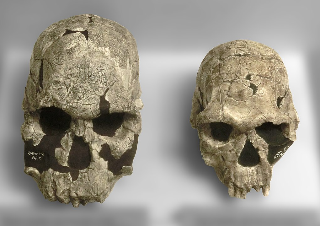 Casts of two skulls of different sizes are shown side by side. They are constructed of gray, white, and brown matter.